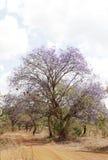 Jacaranda tree in Kenya Stock Images