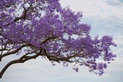 Jacaranda Tree royalty free stock images