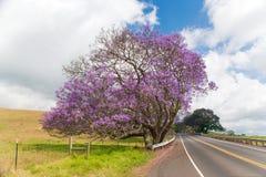 Jacaranda tree maui. Jacaranda tree blooming in maui, hawaii Stock Image