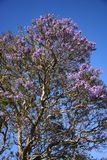 Jacaranda tree in Maui, Hawaii. Royalty Free Stock Photo