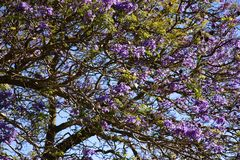Jacaranda tree in Maui, Hawaii Royalty Free Stock Photography