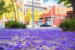 Jacaranda tree petals. On the ground in Adelaide, South Australia Stock Photo