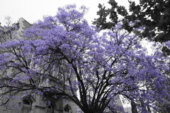 Jacaranda tree. Photo of a purple Jacaranda tree in Adelaide CBD with a Church behind it Stock Images