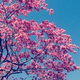 Jacaranda tree Royalty Free Stock Image