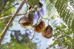 Jacaranda tree pods, seeds. Sunny day stock photography