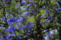 A jacaranda tree ready to shed its leaves. Jacaranda shading its purple leaves in preparation for winter Royalty Free Stock Photos