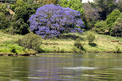 Jacaranda tree at a river. Blooming jacaranda tree in october with reflections in the river Stock Photo