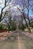 Jacaranda Tree royalty free stock images