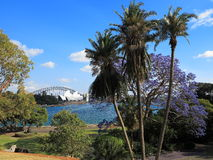 Jacaranda tree in Sydney Botanic Garden Stock Images
