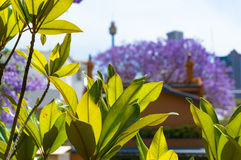 Jacaranda tree and Sydney Tower. Bright green leaves with blooming jacaranda trees and Sydney Tower on the background. Selective focus, shallow DOF Stock Photography