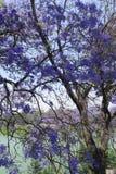 Jacaranda tree Stock Photos