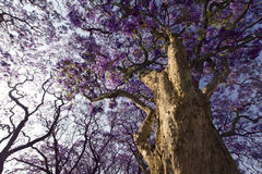 Jacaranda tree trunk with small flowers and sky Royalty Free Stock Photo