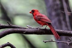 Northern Cardinal Royalty Free Stock Photos