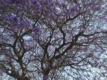 Jacaranda in Bloom. Jacaranda tree in violet, full bloom, Harare, Zimbabwe in October Royalty Free Stock Photo