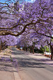 Jacaranda trees. Lining the street in Pretoria, South Africa, purple bloom in October Royalty Free Stock Images