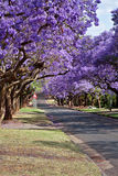 Jacaranda trees. Lining the street in Pretoria, South Africa, purple bloom in October Stock Photography