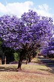 Jacaranda trees. Lining the street in Pretoria, South Africa, purple bloom in October Stock Image