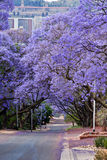 Jacaranda trees. Lining the street in Pretoria, South Africa, purple bloom in October,with government Union buildings in the distance Royalty Free Stock Photography