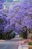 Jacaranda trees Royalty Free Stock Photography