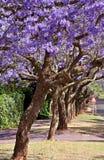 Jacaranda trees Stock Images