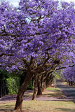 Jacaranda trees. Lining the street in Pretoria, South Africa, purple bloom in October Royalty Free Stock Image