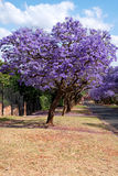 Jacaranda trees. Lining the street in Pretoria, South Africa, purple bloom in October Royalty Free Stock Photography