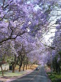 Jacaranda trees along the road in Pretoria, South Africa royalty free stock images