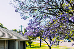 Jacaranda trees in Australia. Jacaranda trees in Sydney ,Newcastle new south wales royalty free stock image