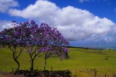 Jacaranda Trees in Bloom. Beautiful jacaranda trees in bloom on the slopes of haleakala maui Stock Photo