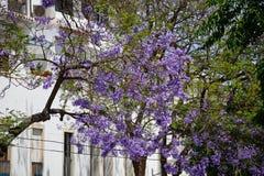 Jacaranda trees in bloom, Lagos, Portugal. Royalty Free Stock Photo