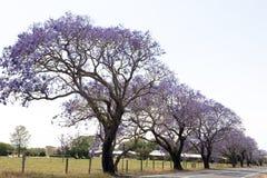 Flowering Jacaranda trees. Blooming jacaranda trees on an alley in Australia Stock Photography
