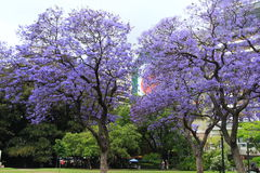 Jacaranda trees in Buenos Aires Stock Photography