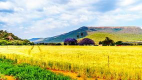 Jacaranda trees at a farm with wheat fields along highway R36 near the town of Orighstad in Limpopo Province Stock Photography