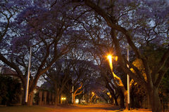Jacaranda Trees. Late afternoon in a street with jacarandas in full bloom Royalty Free Stock Photos