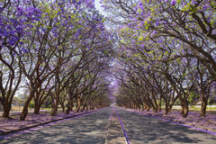 Jacaranda. Trees ( mimosifolia), lining Milton Avenue in Harare, Zimbabwe. This sub-tropical tree native to South America has been planted widely because of its Stock Images