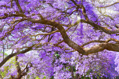 Jacaranda trees. In Pretoria, South Africa, purple bloom in October with rays of sunlight Royalty Free Stock Photos