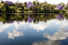 Jacaranda trees. Blooming jacaranda trees with reflections  of the trees and the clouds in the river Royalty Free Stock Photography