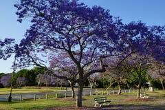Jacarandabäume Stockbild