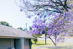 Jacarandabäume in Australien Stockfotos