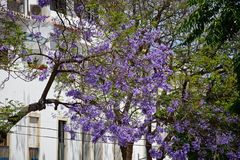 Jacarandabäume in der Blüte, Lagos, Portugal Lizenzfreies Stockfoto