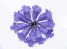 Jacarandabloemen Royalty-vrije Stock Fotografie