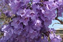 Jacarandabloemen Royalty-vrije Stock Afbeeldingen