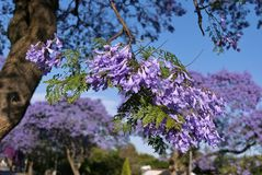 Jacarandabloesem in de lente - sluit omhoog Stock Foto's