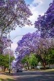 Jacarandabomen die de straat van een voorstad van Johannesburg voeren Royalty-vrije Stock Foto's
