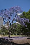 Jacarandaboom met stadswolkenkrabber op achtergrond stock foto's