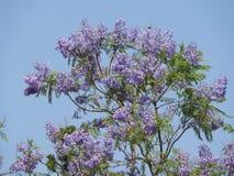 Jacarandamimosifolia royalty-vrije stock afbeeldingen