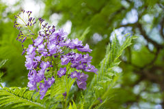 Jacarandamimosifolia is een mooie subtropische boom inheems aan Royalty-vrije Stock Foto's