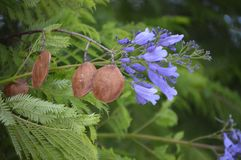 Jacarandamimosifolia - fruit en bloemen Stock Foto's