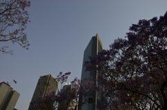 Jacarandas в CBD, финансовый район централи Сиднея стоковые фото