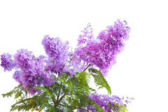 Jacarandas Royalty Free Stock Images